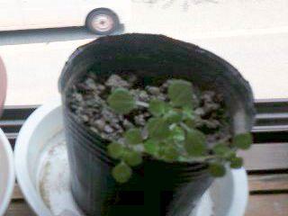 昨年の10月に植えたラベンダー!