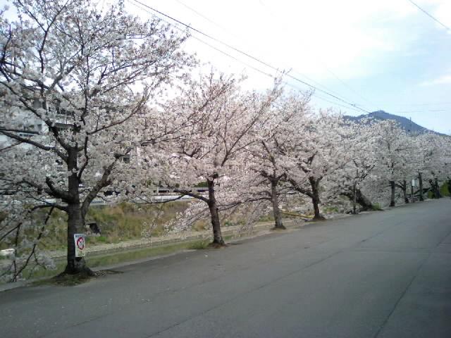 宇和島市in桜